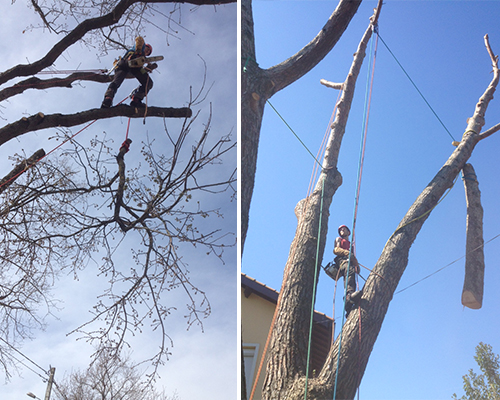 Démontage d'arbres à Muret